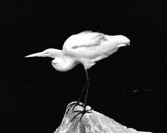 Bird Art, Bird Photography, Nature Photography, Natures Images, Great white Egret, Bird Lovers, Bird Prints