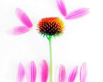 Echinacea Flower Photography Print 5x5 Purple Coneflower, Pink Daisy Photo, Pink Flower Art Print, Floral Wall decor