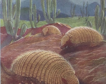 Hairy Armadillos in the Desert Antique Wild  Animal Frame Worthy Original Illustrated Book Plate