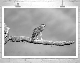Hawks, Black and White, Bird Art, Fine Art Photography, Wildlife Print, Hawk Art, Bird Photography, Red Tail Hawk, Murray Bolesta
