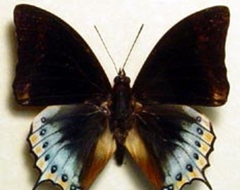 Real Framed Rare Charaxes Eurialus Butterfly 6305