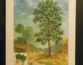 Antique Book Plate Print of Trees