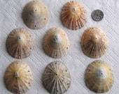 8 Large Sea Shells Dangle Connectors 7 Holes Drilled 1.5mm holes Craft Supplies (1736)