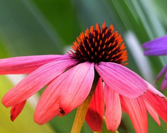 Organic Echinacea Seed // Echinacea Purpurea // Purple Coneflower 100 Seeds