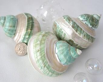 Beach Nautical XL Polished Green Pearl Turban Shell - Turbo Shell - Collector Shell - Specimen Shell - Polished Shell
