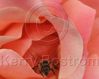 San Francisco Bee in a Rose Note Cards - Set of Five