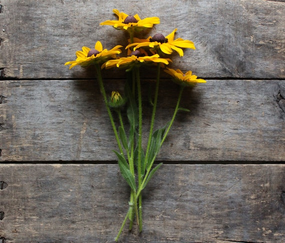Rudbeckia // organic heirloom seeds // flower seeds from our farmstead // eco friendly gardener gift // organic gardening