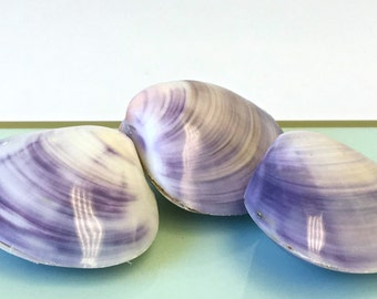 "Seashells - 3 Whole Polished Purple and White Clam Shells 1.50"" - 2"" - craft shells/wedding shells/bulk shells"