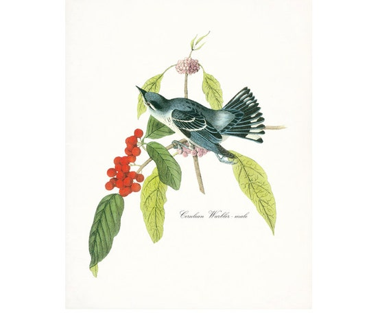 Audubon Vintage Bird Print,  Giclee Print, Cerulean Warbler - Male