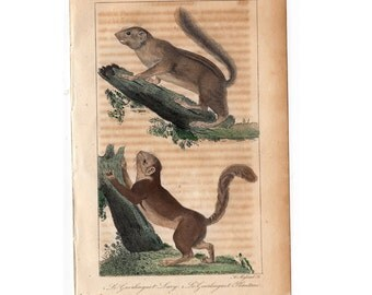 SQUIRREL ENGRAVING original antique animal engraving from 1831 by Buffon -  guerlinguet