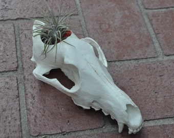 Beautiful Hand Made Coyote Skull Replica Cactus or Small Flower Pot