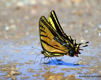 Swallowtail Butterfly Photograph, Insect Photo, Yellow, Fine Art Photo