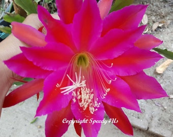 Charles Hardy Epiphyllum Orchid Cactus Cutting