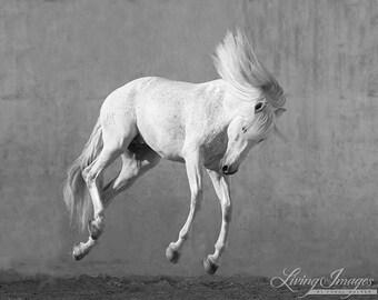 White Horse Falling - Fine Art Horse Photograph - Horse - Lusitano - Fine Art Print