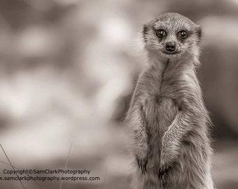 Meerkat, baby, rescue
