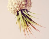 PETIT Voyager Jellyfish Air Plant // Octopus Sputnik Sea Urchin Wedding Favor Decor Gift DIY shell hanging art
