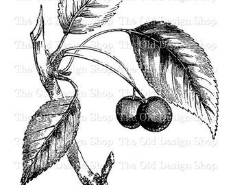 CHERRIES on BRANCH Clip Art Printable Botanical Graphics Digital Download Transfer Image jpg png
