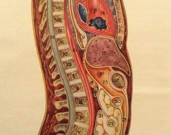 Vintage 1920s Print Human Anatomy Illustration Body Dissection Diagram Medical