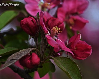 Crab Apple Blossoms, Apple Blossoms, Fine Art Photography, Spring Blossoms, Flower Photos, Images of apple blossoms, Pink Apple Blossoms,