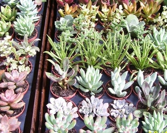 """3 Live 2 inch potted Succulents with """"FREE"""" Shipping!!!"""