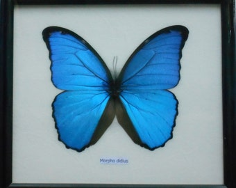 Framed MORPHO Real butterfly Taxidermy in frame