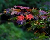 Japanese Maple in fall color, Autumn leaves, burgundy, orange, red and green, wall art, Nature Photography