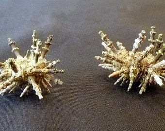 "Two Sputnik Urchins 3"" whole with spines dried sealife curiosities unique gifts taxidermy collectible curios beach decor"