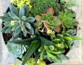 Succulent Plants, Terrarium, Succulent Centerpieces, Dish Garden, Succulent Wedding, Home Decor