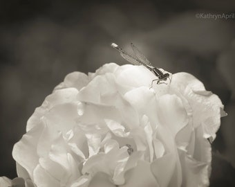 Dragonfly on Flower, Black & White photography, Flower Photography, Metallic Paper, Vivid Metal, Metal Print, 5x7, 8x12, 16x24, 24x36