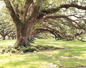 Louisiana photography, live oaks, oversize wall art, rustic decor, nature photography, louisiana decor, oak alley, antebellum, landscape