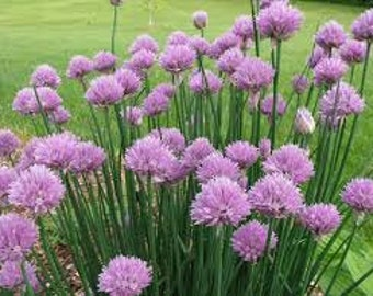 CHIVE HERB SEEDS 100 Fresh seed ready to plant in your garden or pots