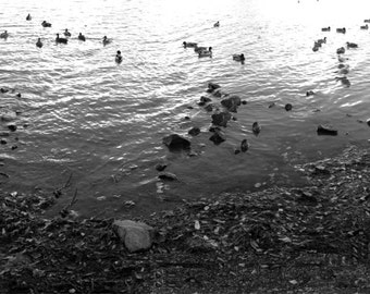 Fine Art Print, Ducks in the Water, Nature Decor, Black & White.