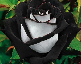 Black white rose flower seeds,369,black heart white rose,flower roses seeds, roses from seeds,planting roses,growing roses from seeds