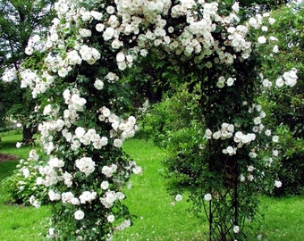 Climbing white roses,386, white rose,roses seeds,planting roses,growing roses from seeds