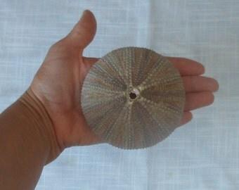 FREE SHIPPING 1 pc multi color (grey-brown) sea urchin, Seashell Supply .Summer collection, a real sea treasure.