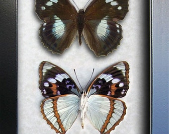 Set Purple Emperor Mimathyma Schrenckii Real Butterflies In Museum Quality Shadowbox