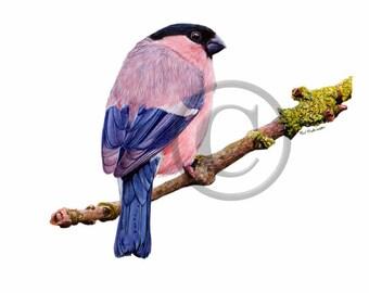 Bird Watercolour, Original Painting, Bullfinch, Watercolor, Bird Artwork, Garden Birds, A4 or A5 Size