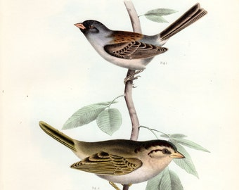 Antique Bird Print 1860 Black-chinned Sparrow and Texas Finch  Birds of North America Color Large Lithograph John Cassin Vintage Bird Print