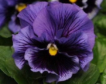 30+ Blue Frizzle Sizzle Ruffled Pansy / Flower Seeds