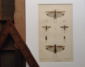 Original colour book plate from Handbook of destructive insects of Victoria...
