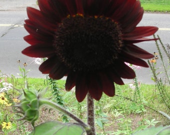 Sunflower Infrared Mix F1 * The Reddest Red!! Seeds