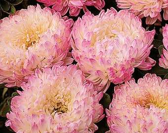 Aster Tall Paeony Duchess Apricot * 25 Seeds