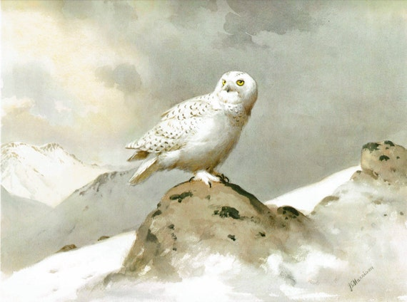 Large 1972 bird print of the Snowy Owl, print of watercolor painting by JC Harrison, British, 15.5 x 12 inches
