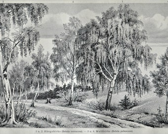 Birch print. Botany. Betula. Old book plate, 1904. Antique  illustration. 110 years lithograph. 9'6 x 6'2 inches.