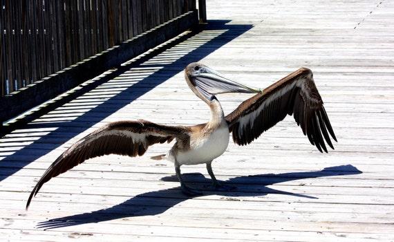 Pelican Photography Print Pelican Wall Art Bird Home Decor Water Fowl Art
