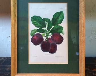 Framed Botanical Print - Clyman Plums by A. Hoen circa 1888