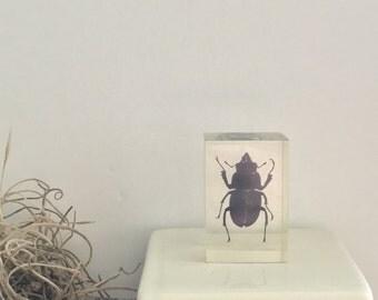 Female Stag Beetle in Resin
