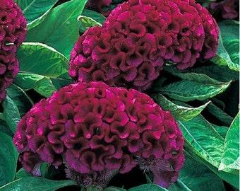 Deep Armor Purple Celosia Flower Seeds / Annual  50+