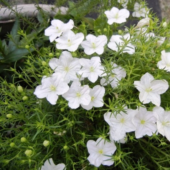 Cup Flower White Robe Ground Cover Seeds Nierembergia
