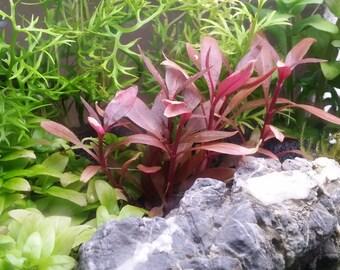 Alternanthera Reineckii Regular, Live Aquarium Plants, 7 Stems + 3 stems
